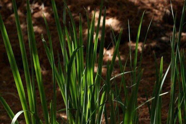 تنش آب باعث کاهش ویژگی های کمی و کیفی گیاه می گردد