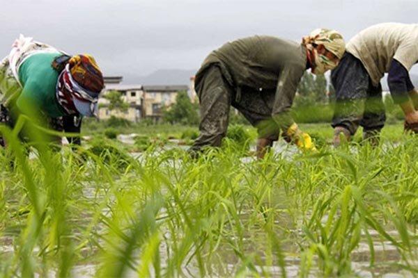 بیش از 78 هزار کشاورز گیلانی محصولات خود را بیمه کردند